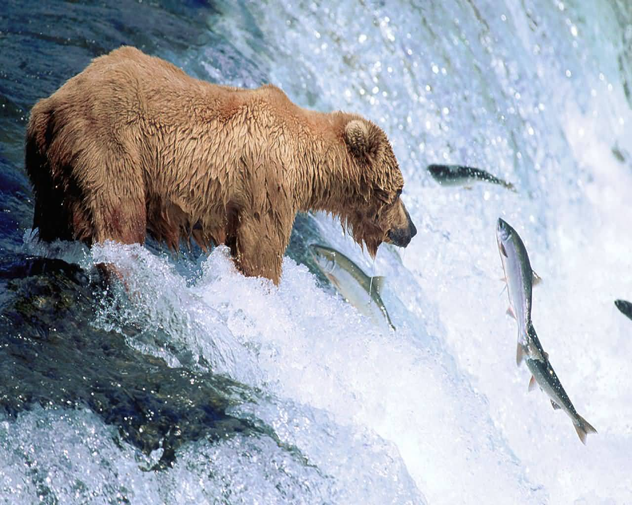 Un ours qui mange un poisson !